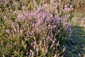 Der August taucht die Heide in wunderbares Violett.